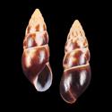 Limicolaria aethiops