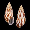 Limicolaria felina shuttleworthi