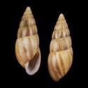Limicolaria senaariensis hartmanni