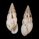 Limicolaria agathina