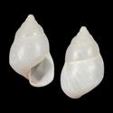 Lignus incoloratus