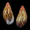 Archachatina camerunensis