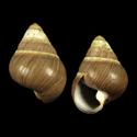 Achatinella valida leucophaea