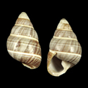 Achatinella mustelina kapuensis