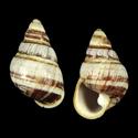 Achatinella mustelina christopherseni