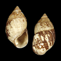 Amastra pullata pullata f. subnigra
