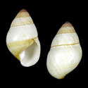Achatinella bulimoides bulimoides