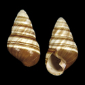 Partulina dolei f. lemmoni