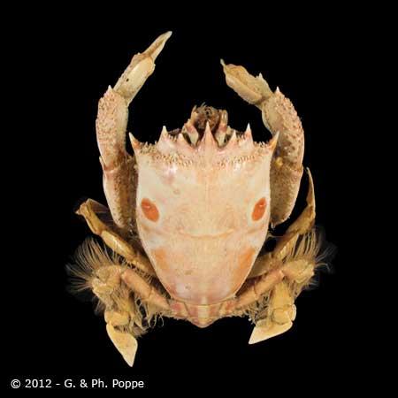 Notopus dorsipes