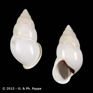 Amphidromus atricallosus atricallosus f. leucoxanthus SINISTRAL