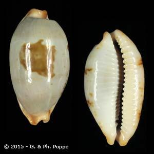 Bistolida stolida salaryensis