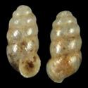 Carychium lederi