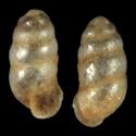 Carychium noculiferum cf.