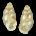 Carychium pessimum