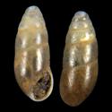 Cochlicopa sinensis