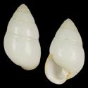 Achatinella bulimoides albalabia