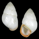 Achatinella bulimoides rosea