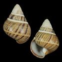 Achatinella apexfulva fuscostriata