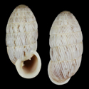 Cerion striatellum striatellum cf. 1