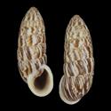 Cerion eucosmia