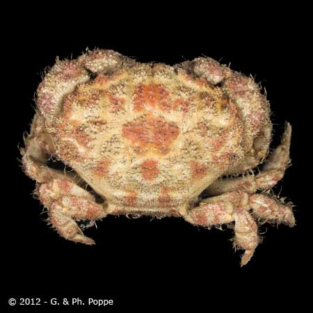 Pilumnus tomentosus