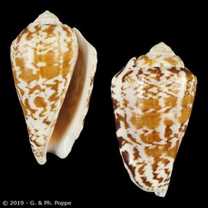 Conomurex decorus LARGE