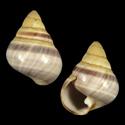 Achatinella apexfulva fumositincta