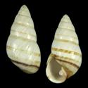 Achatinella phaeozona