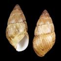 Paramastra variegata