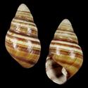 Achatinella byronii nigricans