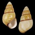 Achatinella stewartii producta