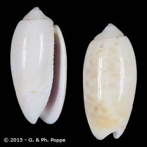 Oliva carneola f. andamanensis