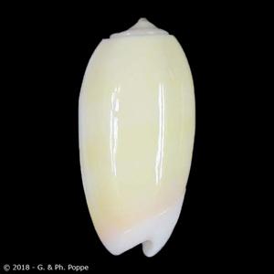 Oliva carneola YELLOW