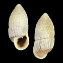 Cerion varium