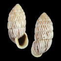 Cerion striatellum crassilabre