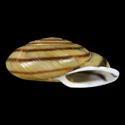 Epiphragmophora trigammephora