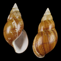 Achatina osborni