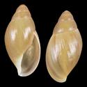 Euglandina striatula