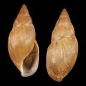 Euglandina dactylus