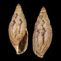 Varicella burringtonbakeri