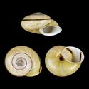 Epiphragmophora trigammephora f. monozona