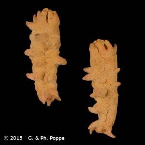 Stichopus species