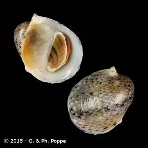 Neripteron auriculata