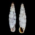 Albinaria caerulea calcarea