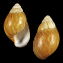 Achatina simplex