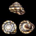 Caucasotachea calligera nemoraloides
