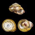Caucasotachea calligera calligera