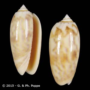 Oliva miniacea miniacea SPECIAL COLOR