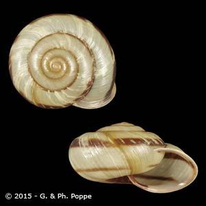 Euhadra peliomphala simodae
