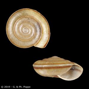Elaphroconcha javacensis